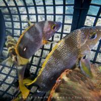 大突破!台東富山保育區首次魚體植入發報器 追蹤分析魚種生態
