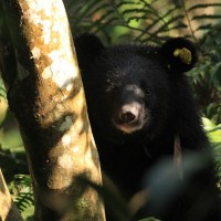 First rescued Taiwanese black bear cub reintroduced into wild