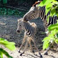 臺北動物園非洲動物區再傳喜訊 查普曼斑馬寶寶報到