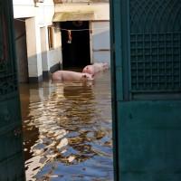 洪災使豬隻全泡湯 河南豬農悲喊「天都塌了」