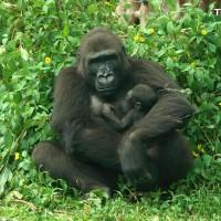 音似台語蘋果 台北動物園金剛猩猩二寶取名Ringo