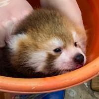 北市動物園再添新成員!貓熊寶寶半張眼 萌樣融化網友