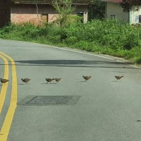 Sighting of Taiwan bamboo partridges crossing Nantou road sign of successful rewilding