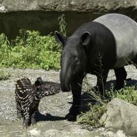 馬來貘寶寶「貘花豆」開放見客啦 快到北市動物園捕捉它的超萌身影!