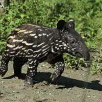 Baby tapir greets Taipei Zoo visitors for first time