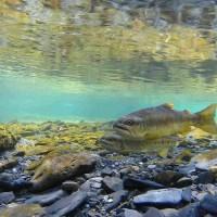 恢復臺灣森川里海自然生態網絡 國寶魚櫻花鉤吻鮭棲地復育計畫啟動