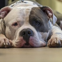 Taiwanese man dies after pitbull attack
