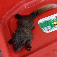 Baby squirrel becomes influencer at south Taiwan school