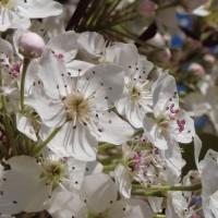 春天開花似下雪   臺灣原生植物「豆梨」將現身新北市