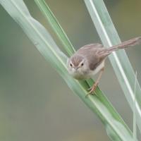 集公民科學家之力!長期追蹤繁殖鳥類族群趨勢 臺灣朱雀和烏頭翁族群數顯著下降