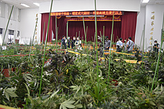 Police make largest marijuana grow-op bust in Taiwan's history