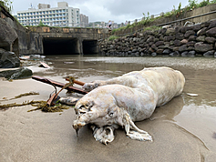 Dead pig with Chinese ASF strain washes up on northern Taiwan beach