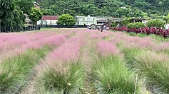 Taiwan bans import of pink muhly grass over ecological concerns