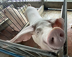 Taiwan speeding up modernization of pig farms in wake of ASF fears