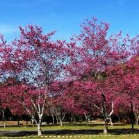 每日一圖:奧萬大櫻花接力盛開 上演春之美