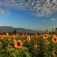 每日一圖:花蓮向日葵花海 迎向陽光綻放