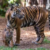 瀕絕種復育有成 泰國東部印尼虎現蹤