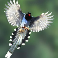 Photo of the Day: Taiwan blue magpie flying in the sky