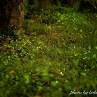 View abundant fireflies in their natural habitat closest to a Taipei Metro station