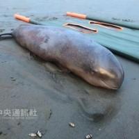 Un marsouin aptère trouvé mort sur la plage de Taiwan