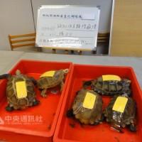 Cinq tortues imprimée sauvés par la douane à l'aéroport de Taoyuan