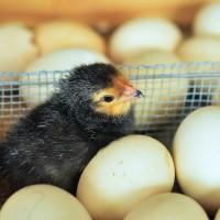 芬普尼雞蛋風波 雞不撲殺蛋當堆肥