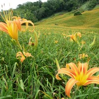 Now is the best time to appreciate blooming daylily flowers in Hualien, Taiwan