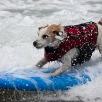 加州狗狗衝浪比賽 帶您一覽汪星人乘風破浪英姿!