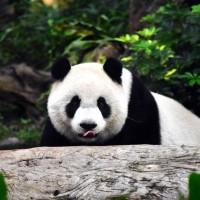 大熊貓數量提升  但棲地縮減反成「瀕危」風險
