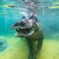 Newly rebuilt hippo home at Taipei Zoo allows visitors to watch their underwater behavior