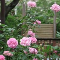 Taipei Rose Garden showcases 700 varieties of roses