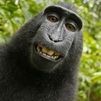 印尼自拍獼猴 榮登動保團體PETA「年度風雲人物」