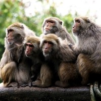 Photo of the Day: Taiwan macaques huddle for warmth