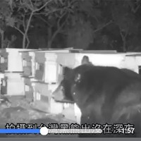 Formosan black bear caught on camera stealing honey from bee farm