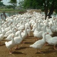 進入禽流感流行期 民眾該如何避免感染