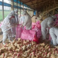 Avian flu leads to culling of 10,000 birds at Taiwan chicken farm