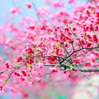 First cherry blossoms spotted in New Taipei City