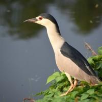 大安森林公園野鳥嘴叼「雞頭」 呼籲民眾勿亂餵食