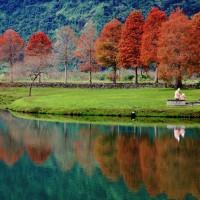 Bald cypress trees beside Lipi Lake in Yilan County, northeastern Taiwan turn russet-red