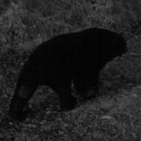 HealthyFormosan black bear spotted in eastern Taiwan
