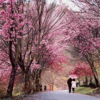 Taiwan announces traffic restrictions for cherry blossom season at Wuling Farm