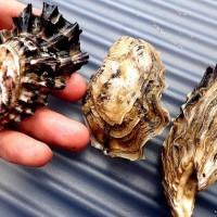 台厄牡蠣合作計畫持續 盼改善雙方關係