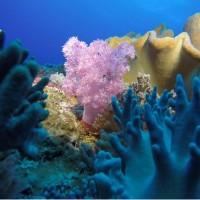 全球首本「八放珊瑚」圖鑑 涵蓋東沙環礁119種類