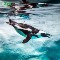 Endangered African penguins enjoy AC room at Taipei Zoo