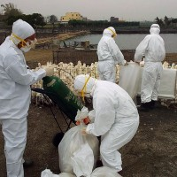 Over 11,000 chickens, ducks culled due to H5N2 avian flu