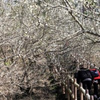Plum blossoms are blooming at Meiling, southwestern Taiwan