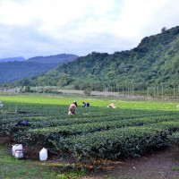 Special winter tea from eastern Taiwan to hit markets around Chinese New Year