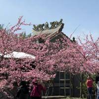阿里山河津櫻綻放 粉色花瓣隨風飄舞