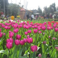 Immerse yourself in a vast sea of tulips at Taipei's Shilin Official Residence, starting February 13