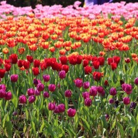 Tulip festival at Taipei Shilin Official Residence draws thousands